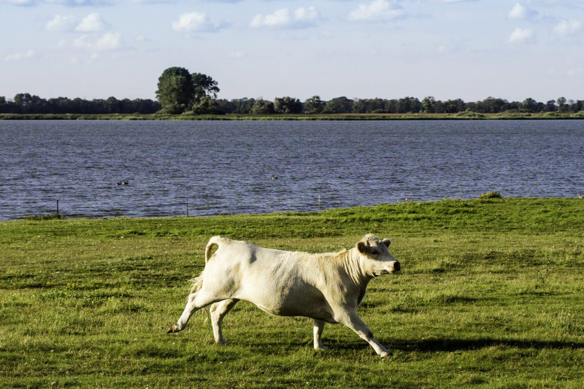 Eine Kuh läuft über das Grasufer der Havel.